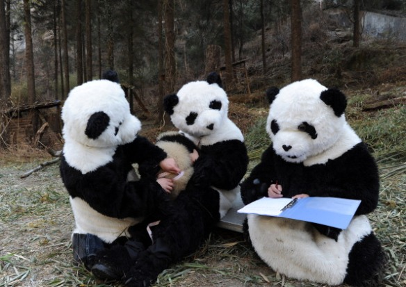 108794513-feeders-dressed-as-giant-pandas-give-a-gettyimages.jpg